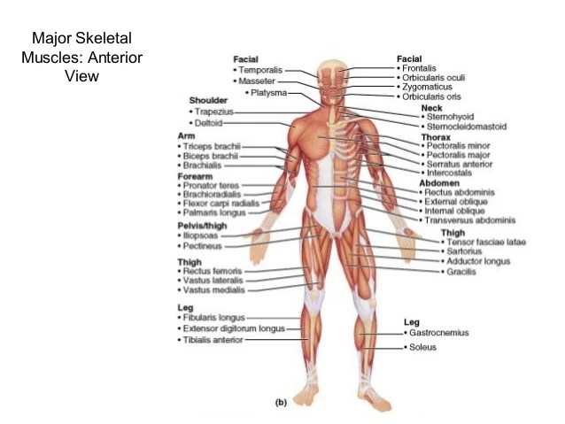 Anterior Muscle Diagram Definitions