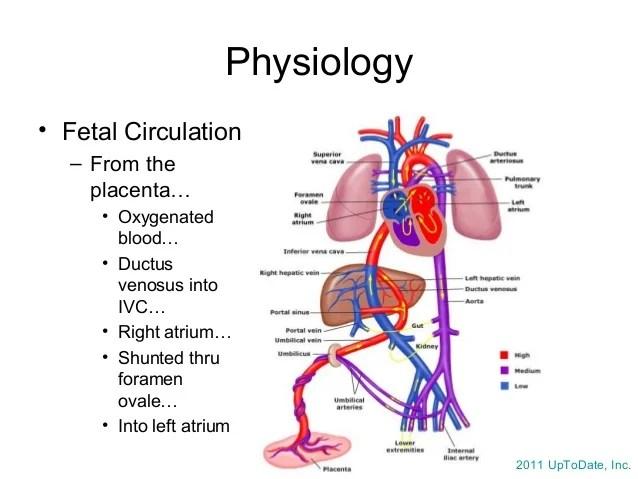 Fetal Circulation Diagram Labeled