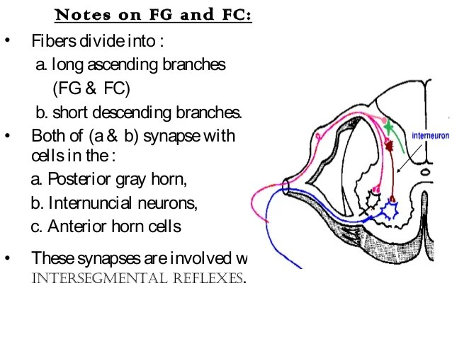 Sensory Tract Fasciculus Cuneatus Or Gracilis F