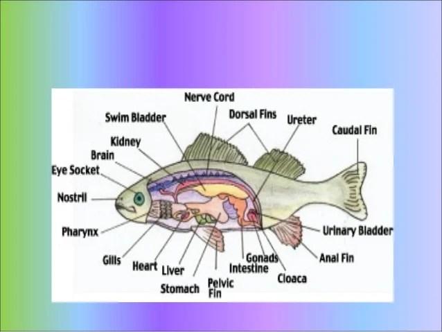 External Anatomy Of The Manta Ray