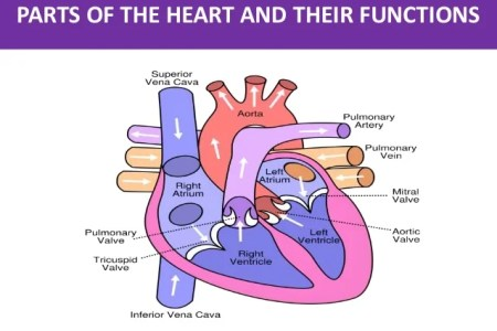 Interior outline of a heart electronic wallpaper electronic heart diagram templates sample example format download digital unlabeled heart diagram simple printable format posterior lymph heart function in two species ccuart Images