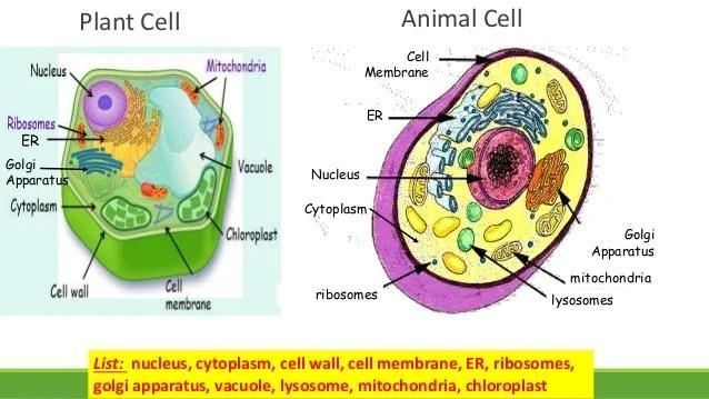 Ribosome Diagram No Pic