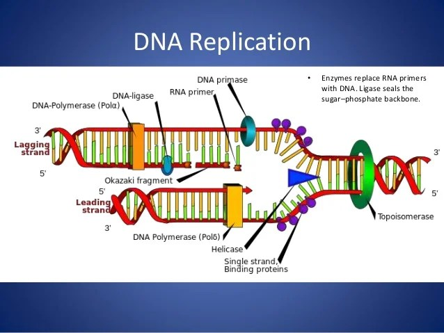 Chromosome And Gene Dna Replication
