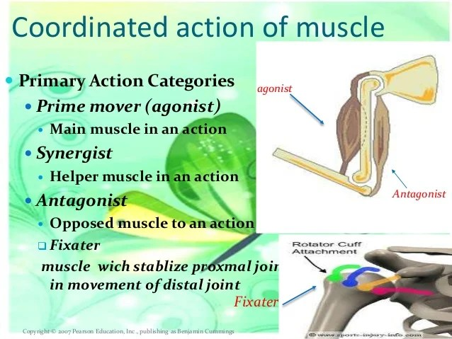 And Tendon And Muscle Perimysium And Epimysium C And And Endomysium Muscle Fascicle
