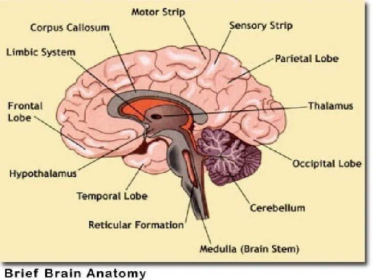 Labeled Brain Diagram Fissures - Car Wiring Diagrams Explained •