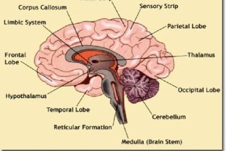 Interior brain diagram electronic wallpaper electronic wallpaper diagram of brain brain basic guide wiring diagram vector human brain diagram side view with parts cerebrum rh rf com diagram of brain printable brain ccuart Choice Image