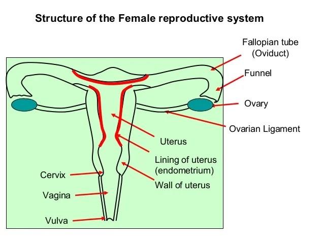 Female Rabbit Reproductive System