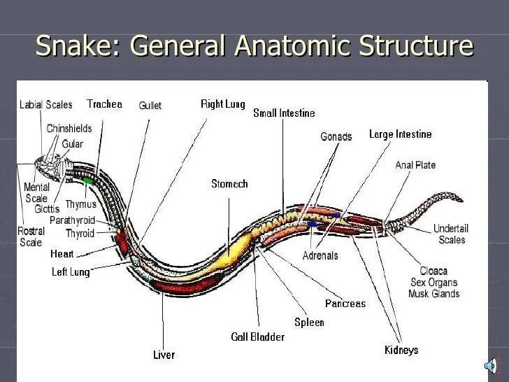 snakes 13 728?cb=1252374547 snake body parts diagram