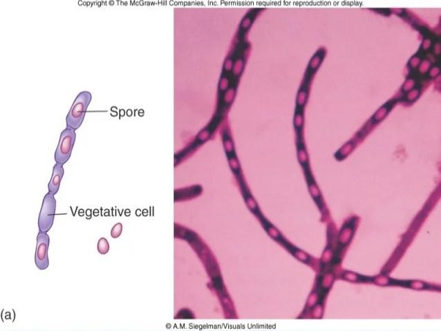 Bacillus Anthracis Identification