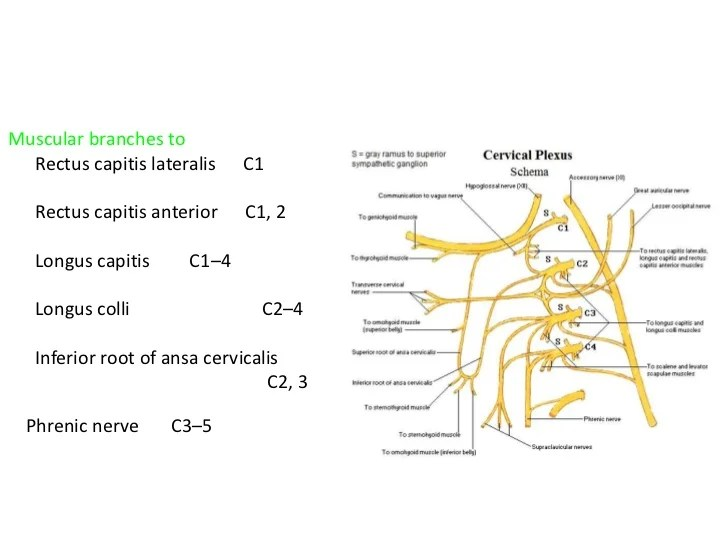 Branches Of Ansa Cervicalis
