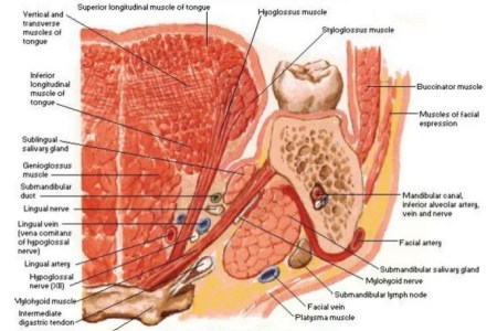 Interior cavity anatomy free interior design mir detok anatomy of the nasal cavity youtube abdominal cavity wikipedia the abdominal cavity is labeled in this image and together with the pelvic cavity it makes up ccuart Gallery