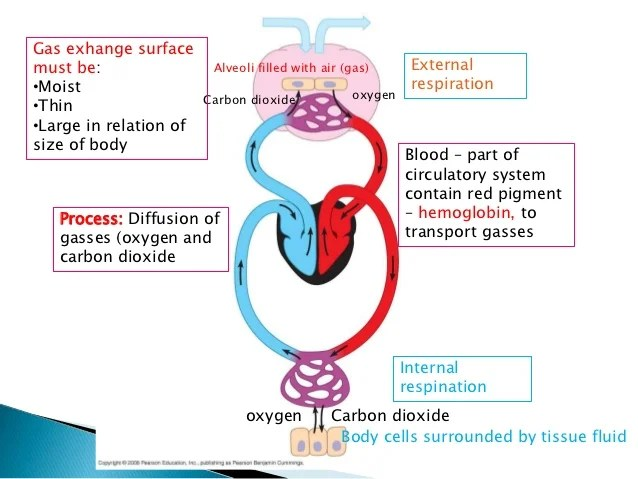 Unit 3 respiratory system and gas exchange