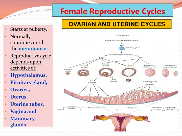 PPT - GAMETOGENESIS & FEMALE CYCLES PowerPoint ...