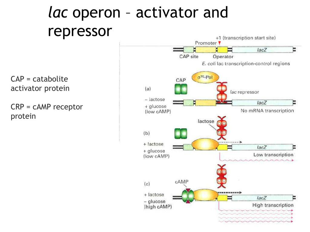 Operon Activator Active Active Repressor