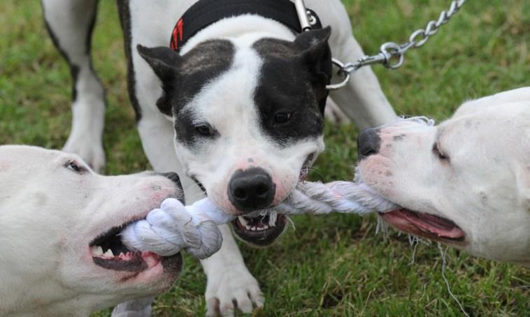 Quali sono le razze di cani più 'pericolose'