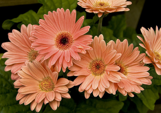 Gerbera daisy images free stock photos download  521 Free stock     gerberas