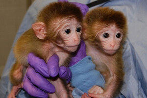 Chimeric Macaques Give New Meaning To Phrase I Ll Be A