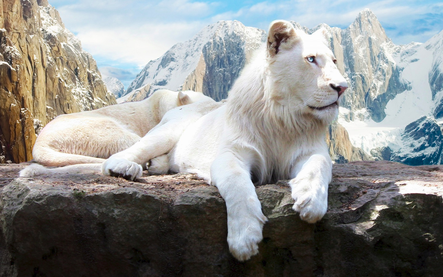 21  Animal Backgrounds  Wallpapers  Images  Pictures   Design Trends     Snow Lion Animal Wallpaper