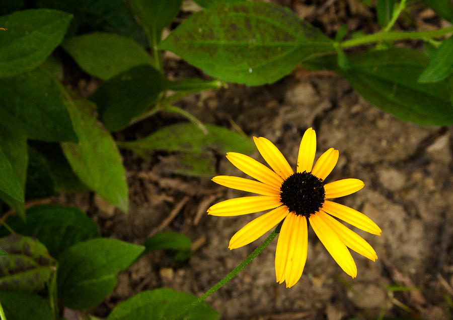 brown eyed susan - 900×635
