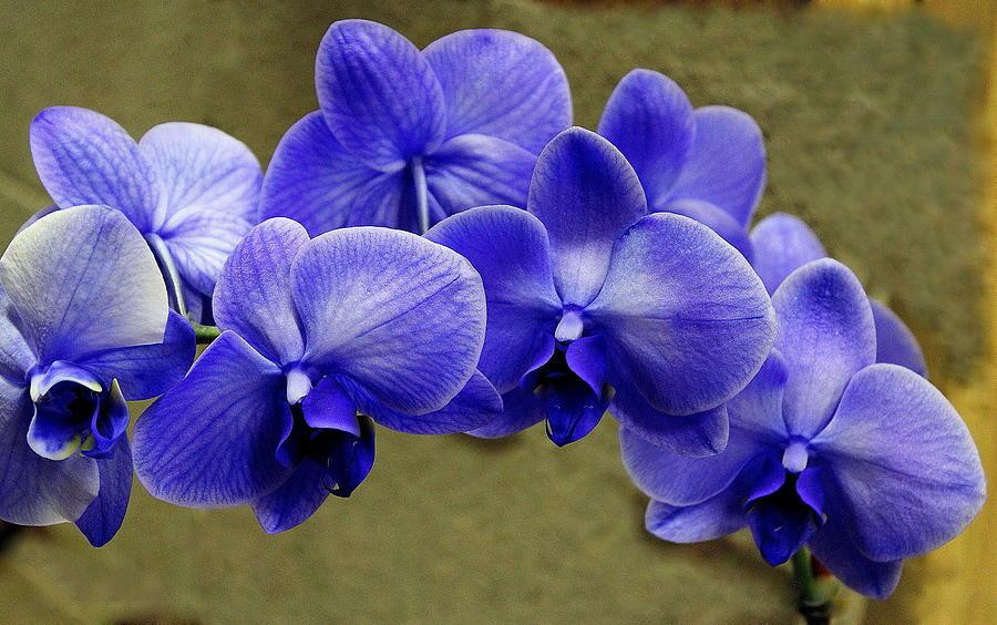 Silk Blue Purple Dendrobium Orchids