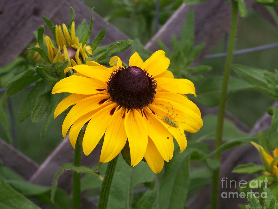 brown eyed susan - 900×676