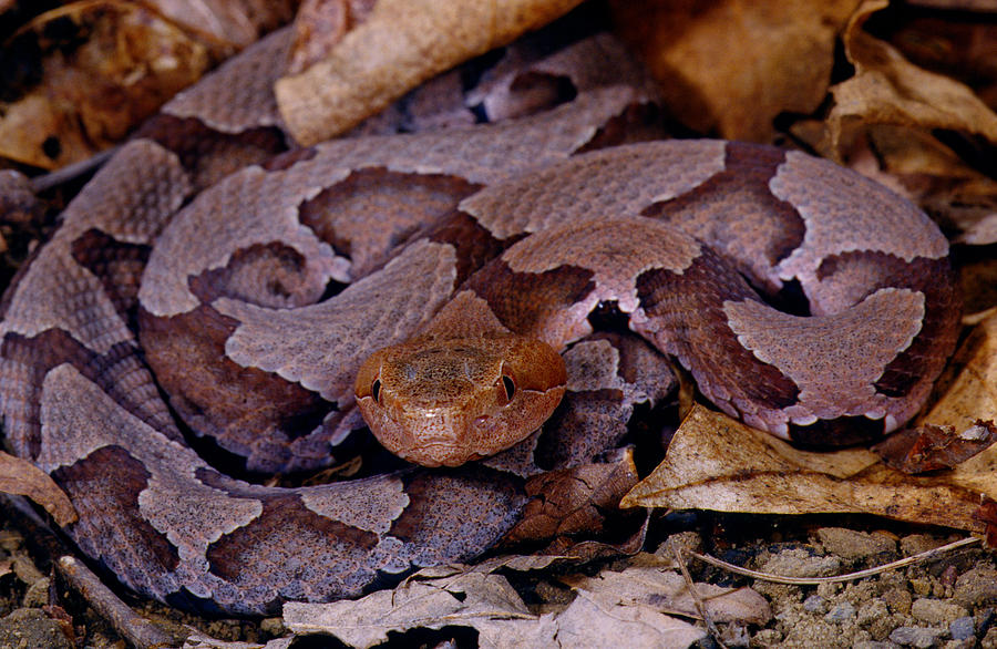 northern copperhead pictures - 900×586