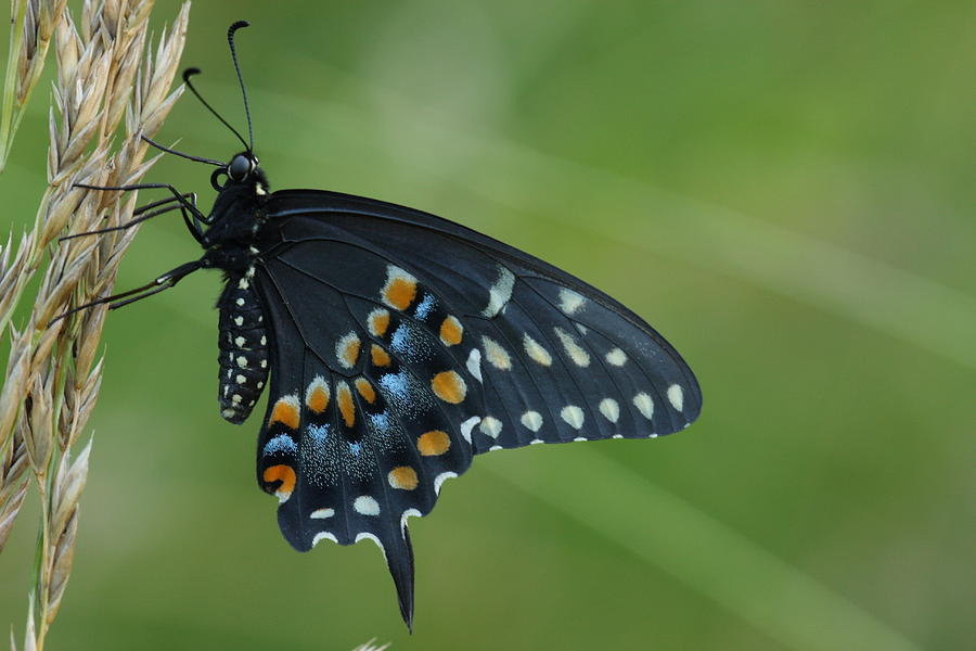 Eastern Black Swallowtail Butterfly Photograph by Daniel Reed