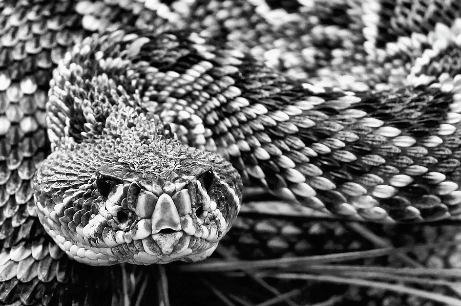 Eastern Diamondback Rattlesnake Black And White Photograph ...
