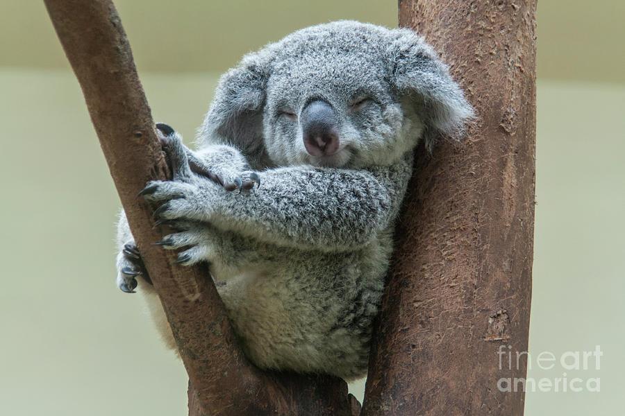 Koala Smiling, Resting And Sleeping On His Tree Photograph ...
