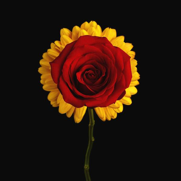 Rose On Yellow Flower Black Background Photograph by Sergey Taran Rose Photograph   Rose On Yellow Flower Black Background by Sergey Taran