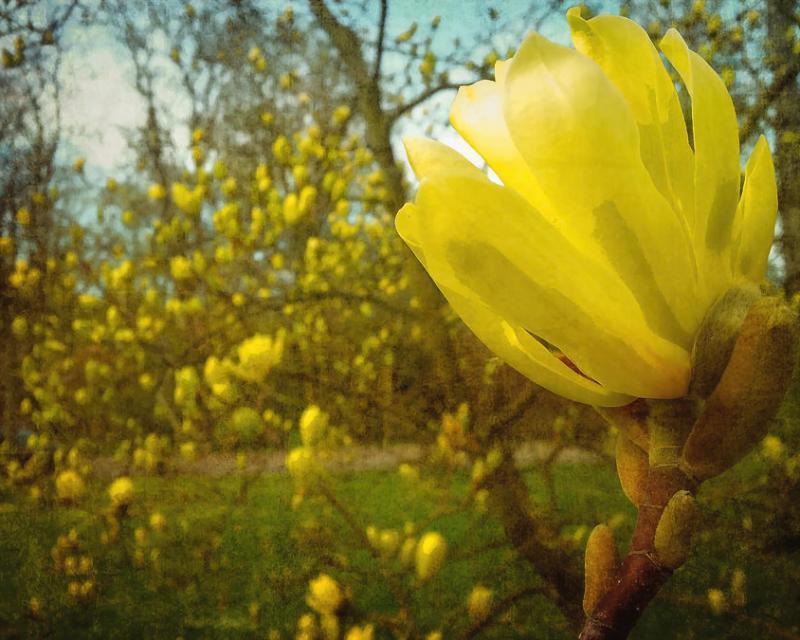 Spring. Yellow Magnolia Flower Photograph by Gerlya Sunshine