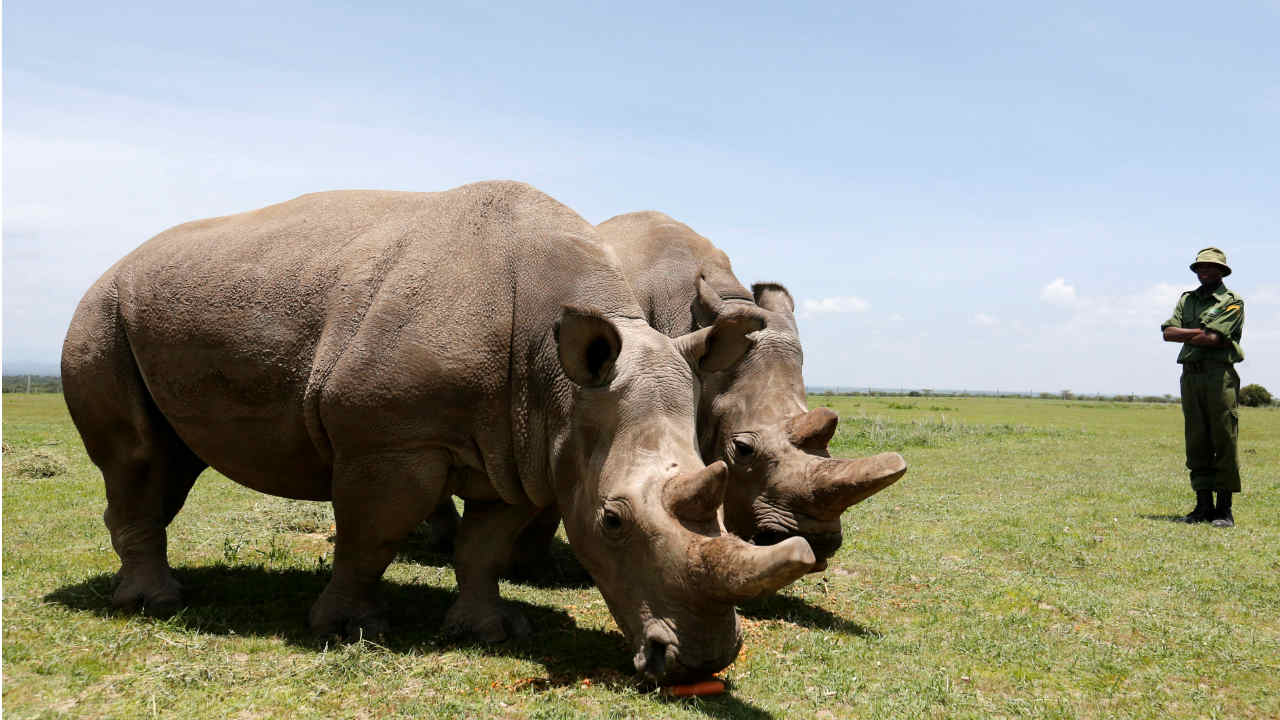 Scientists Are Trying To Save Northern White Rhinos From