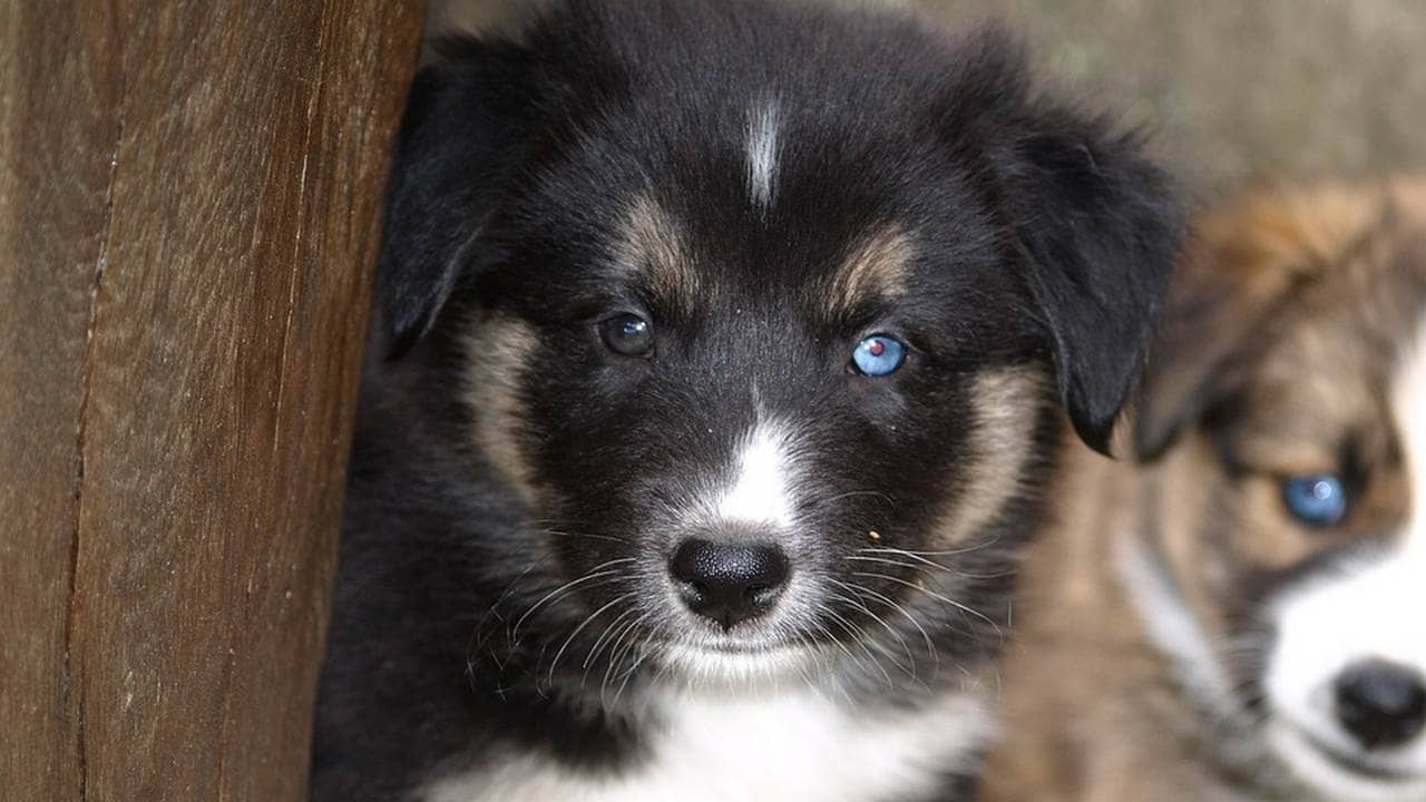 Dogs Evolved Puppy Eyes To Communicate With Humans After
