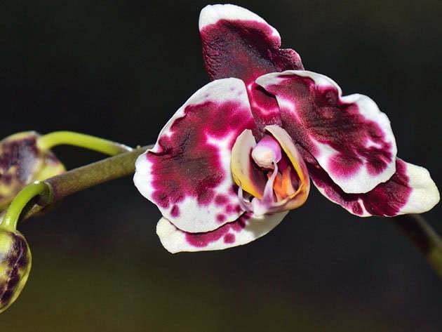 Hoa lan falenopsis.