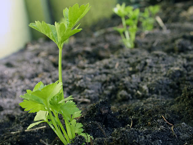 Rosnący seler z nasion z siewką