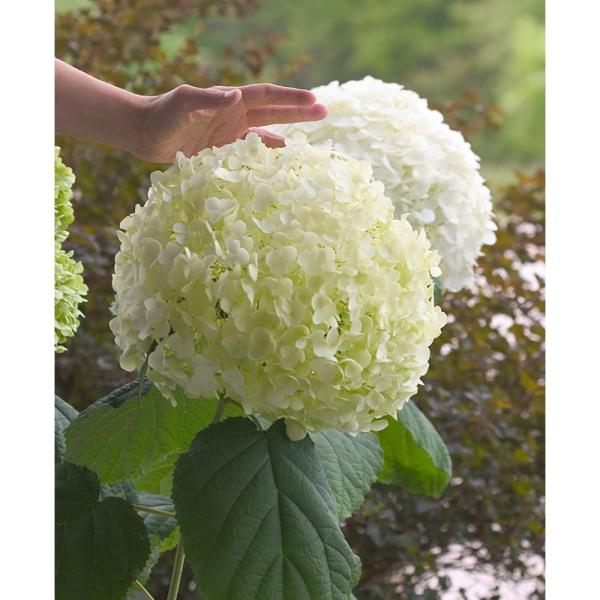 Proven Winners 1 Gal  Incrediball Smooth Hydrangea  Live Shrub     Incrediball Smooth Hydrangea  Live Shrub  Green to White Flowers