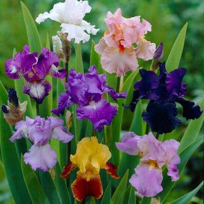 Iris   Flower Bulbs   Garden Plants   Flowers   The Home Depot Iris Germanica Bulbs Breeder s Choice Mixture  Set of 5 Roots