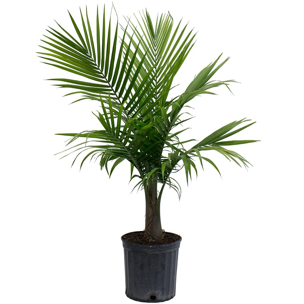 Best Kitchen Gallery: Costa Farms Majesty Palm In 9 25 In Grower Pot 10maj The Home Depot of Tropical Tree House Plant Names on rachelxblog.com