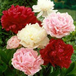 Peony   Flower Bulbs   Garden Plants   Flowers   The Home Depot Peonies Bulbs Mixed Colors  Set of 6 Roots