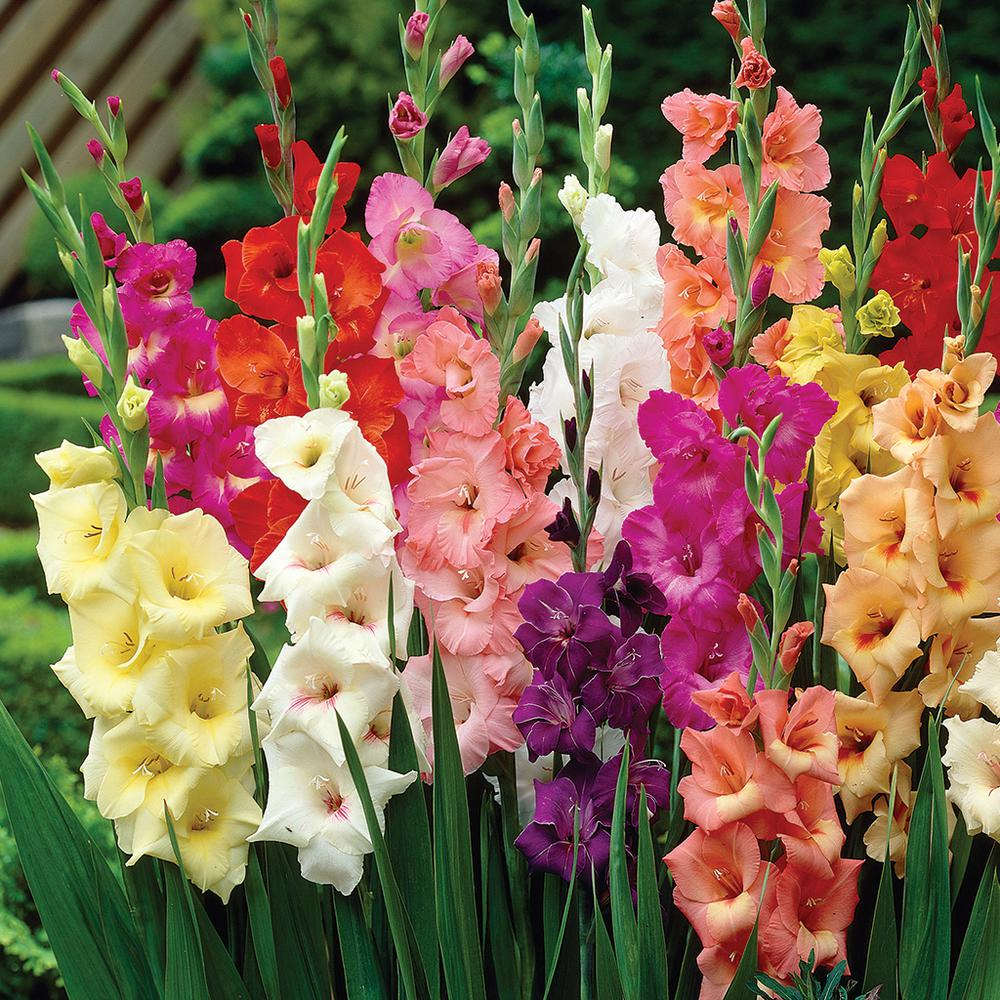 images for flowers gladiolus