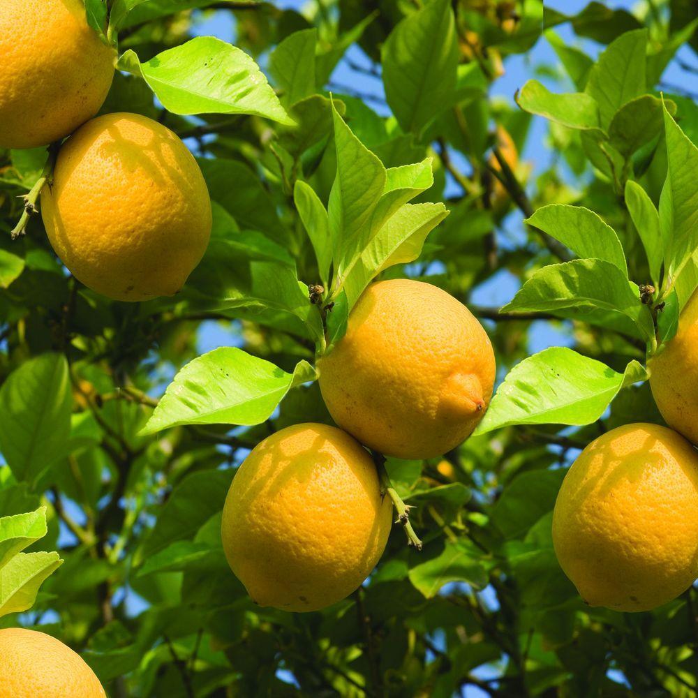 Kitchen Decor Lemons