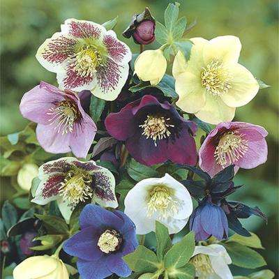 Low   Full Shade   Perennials   Garden Plants   Flowers   The Home Depot Deluxe Single Helleborus Mix  3 Bareroot Plant