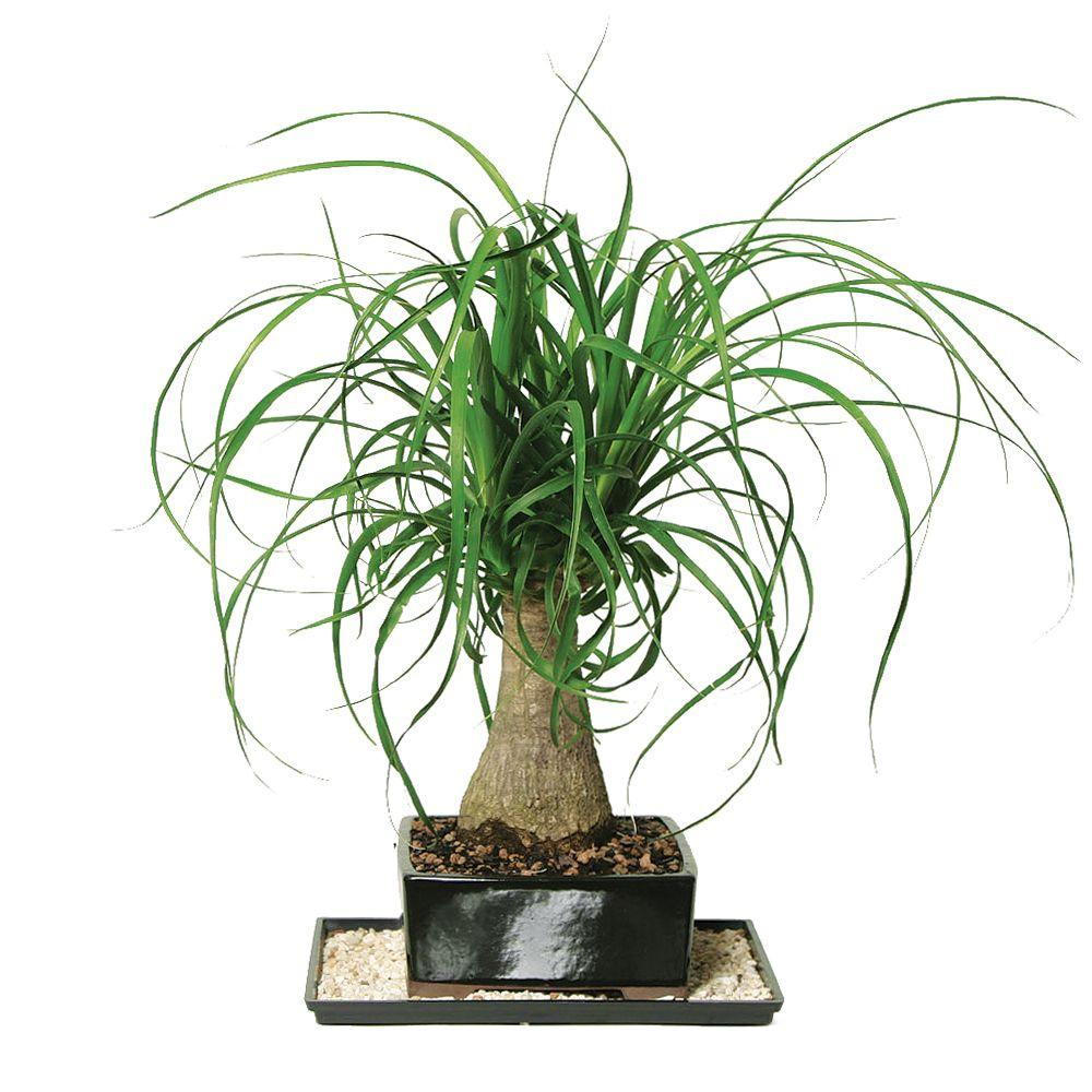 Best Kitchen Gallery: Brussel's Bonsai Ponytail Palm Indoor Dt 7001ptp The Home Depot of Tropical House Plant Trees on rachelxblog.com