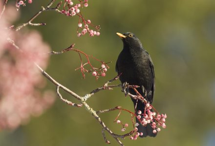 Common Blackbird Guide | BBC Wildlife Magazine - Discover Wildlife