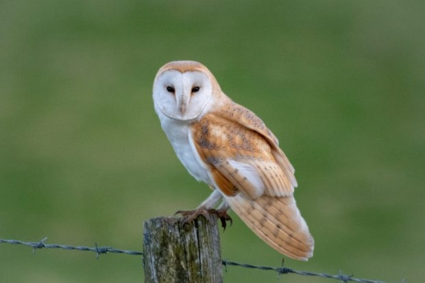 12 amazing barn owl facts - Discover Wildlife