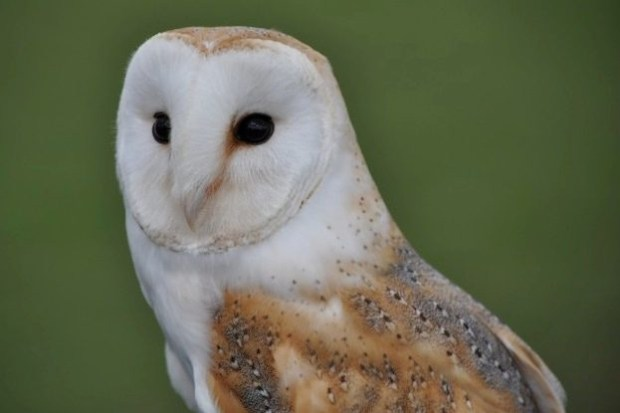 14 amazing barn owl facts | Barn owl images - Discover ...
