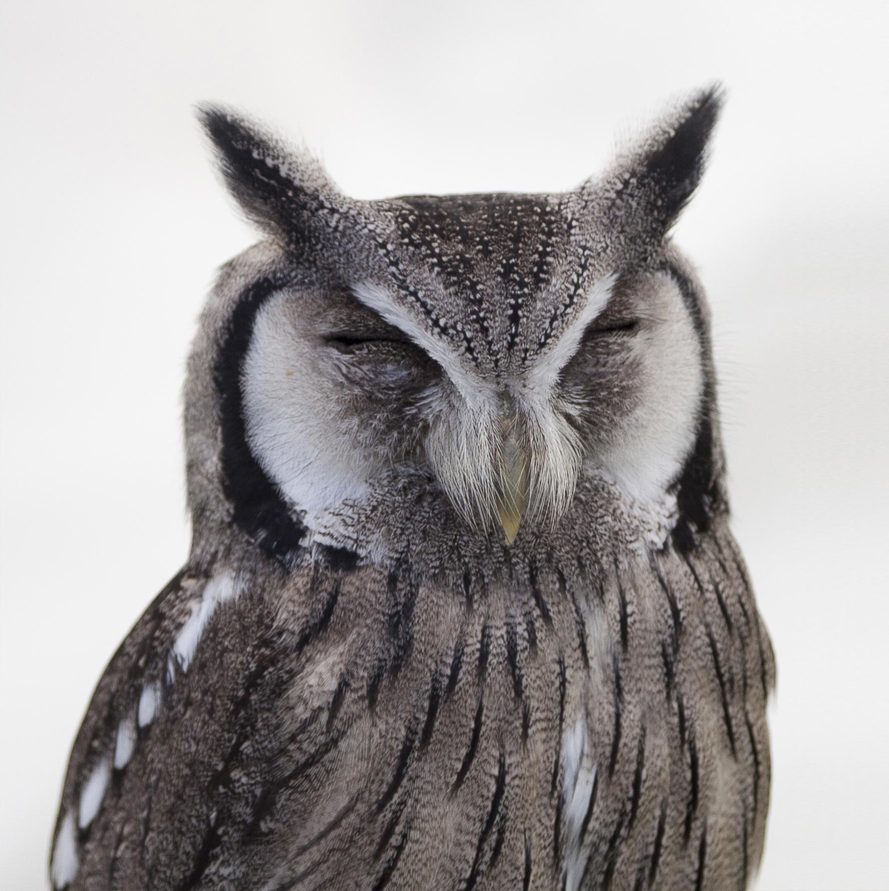 White And Black Owl 183 Free Stock Photo