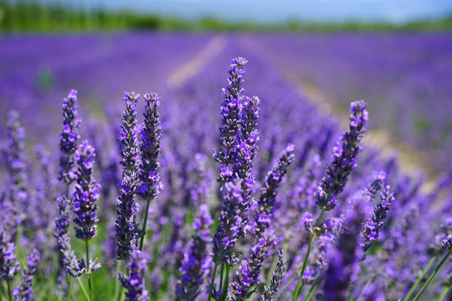 100  Great Lavender Photos      Pexels      Free Stock Photos Purple Petal Flowers Focus Photograph