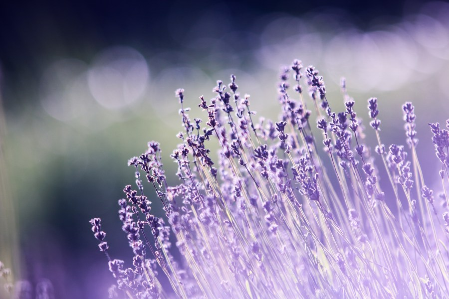 100  Great Lavender Photos      Pexels      Free Stock Photos Free stock photo of nature  field  flowers  summer
