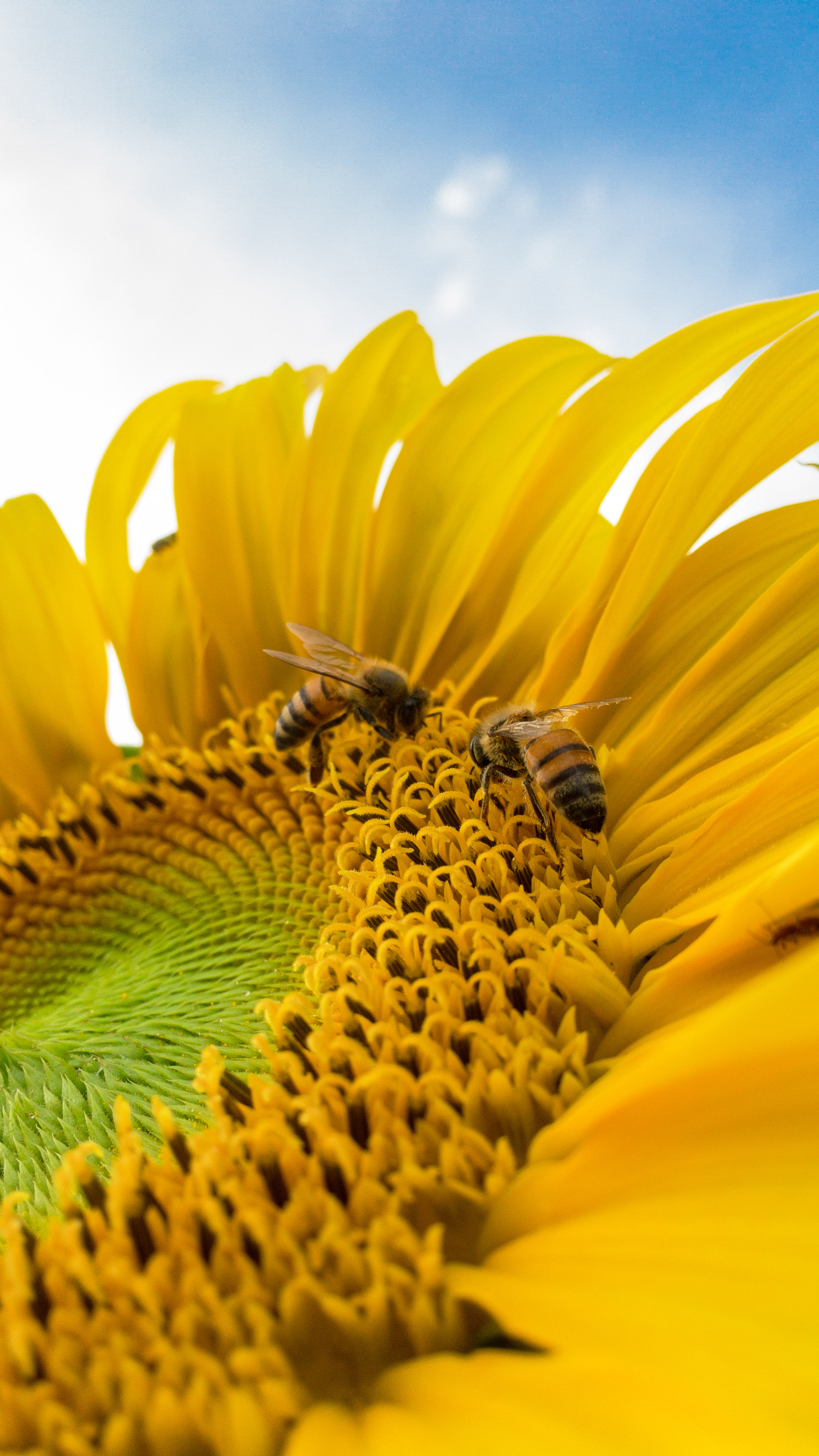 Selective Focus Photography Of Sunflower 183 Free Stock Photo